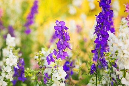 Blooming lavender flowers