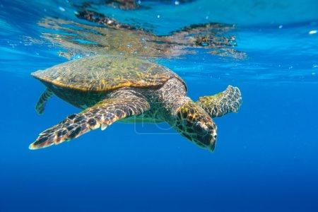Sea Turtle swimming in Seychelles