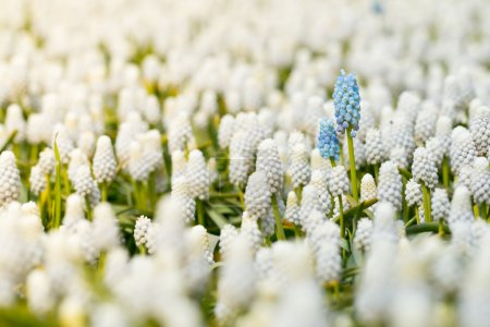 White grape hyacinth with couple of blue ones