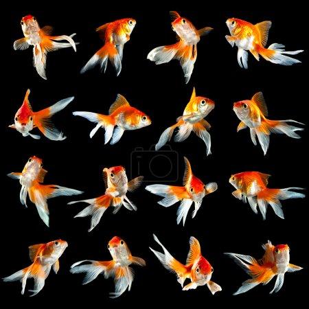 Sixteen goldfishs