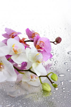 Pink and white beautiful orchids with drops